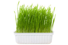 Green wheat sprouts Royalty Free Stock Photography