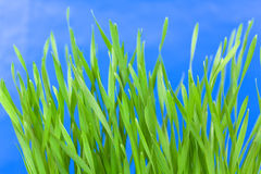 Green Wheat Sprouts against blue sky Stock Image