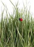 Green wheat sprouts and a lady bug Royalty Free Stock Photo