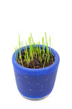 Green Wheat Sprouts in Pot Royalty Free Stock Images