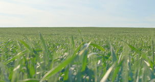 Green wheat stalks blow in the wind stock footage