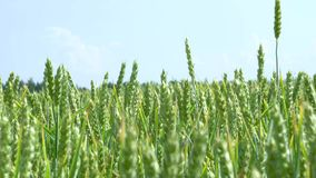 Green wheat stalks blow in the wind. Natural Wheat field. Bueutiful nature wheat field with clouds in sunny day stock footage