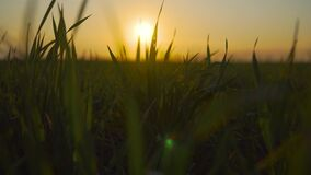 Green wheat stalks blow in wind. Natural crop or grass field. Beautiful nature barley at evening sunset. Concept of freedom and serenity stock video footage