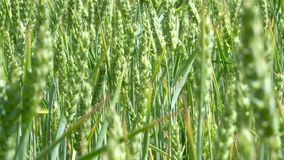 Green wheat stalks blow in the wind stock video