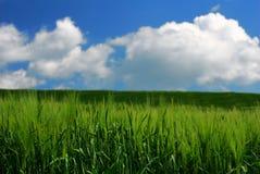 Green wheat stems. Fresh green wheat stems under pretty sky royalty free stock photo