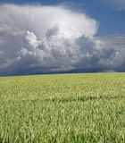 Green wheat and stormclouds stock image