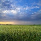 Green wheat in the sunrise Stock Photo