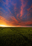 Green wheat in sunset Stock Images