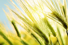 Green wheat at sunset Stock Photo