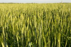 Green wheat on sunset. Green wheat field on sunset Stock Photos