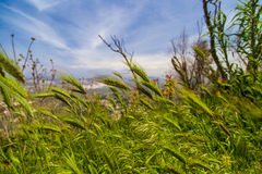 Green wheat swaying in the wind Royalty Free Stock Photos