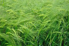 Green wheat texture as agricultural background Royalty Free Stock Photos