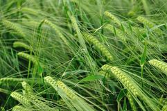 Green wheat texture as agricultural background Stock Photo