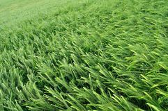 Green wheat texture as agricultural background Stock Photography
