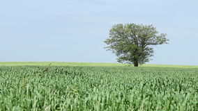 Green wheat and tree. Landscape stock footage