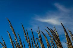 Green Wheat Under Clear Blue Sky Royalty Free Stock Images