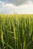 Green wheat under dramatic sky Royalty Free Stock Image