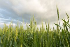Green wheat under dramatic sky. Immature spikelets wheat in the field Stock Photo