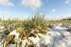 Green wheat under the snow Royalty Free Stock Images