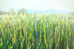 Green wheat - unripe wheat (wheat field) Royalty Free Stock Images