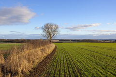 Green wheat and vale of york. An english landscape with a view of the vale of york from a newly sown wheat field with an ash tree and hedgerow under a blue Royalty Free Stock Photo