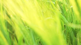 Green wheat. Variable focus Royalty Free Stock Photo