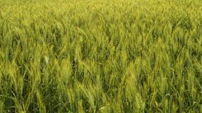 Green wheat waving in the wind stock video footage