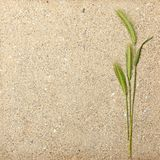Green wheat on yellow sand texture Royalty Free Stock Image