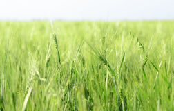 Green wheaten  ears against blue sky Royalty Free Stock Photography
