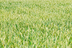 Green wheaten field Royalty Free Stock Image