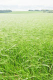 Green wheaten field Royalty Free Stock Photography