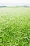 Green wheaten field Royalty Free Stock Photography