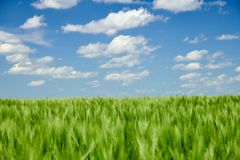 Green wheaten sprouts in the field and cloudy sky. Bright spring landscape royalty free stock photography