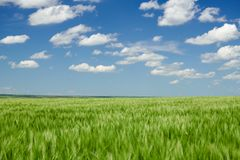 Green wheaten sprouts in the field and cloudy sky. Bright spring landscape stock images