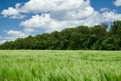 Green wheaten sprouts in the field and cloudy sky. Bright spring landscape stock photo