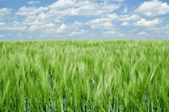 Green wheaten sprouts in the field and cloudy sky. Bright spring landscape stock image