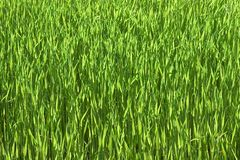 Green wheatfield Stock Images