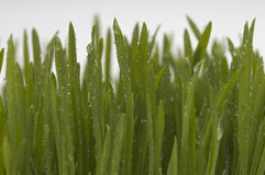 Green Wheatgrass With Dew Royalty Free Stock Images