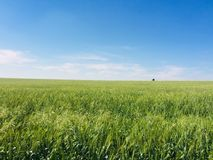 A green wheats field blowing stock images