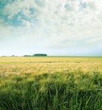 Green wheats Stock Photography