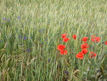 Green wheet field with flowers Stock Images