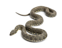 Green Whip Snake, Hierophis viridiflavus, isolated Royalty Free Stock Photography