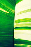 Green and white banana leaf, abstract natural texture background Stock Photo