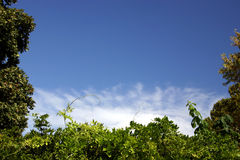 Green white & blue. A lovely sky over and between some fresh green foliage with a touch of wispy white cloud to set it all off stock photography