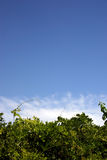 Green white & blue 3. A beautiful blue sky covering some lush green foliage with some tufts of white cloud between Royalty Free Stock Photos