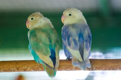 Green-white and blue-white budgerigs coalesce on tree branches in wire cages