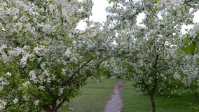 Green white branches blossom apple tree above path way springtime. Camera panning to right. White flowers green grass background. Nice scene green leaves in stock video