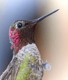 Green White Brown and Pink Humming Bird Royalty Free Stock Photo
