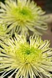 Green and White Dahlia. A green and white dahlia on display Royalty Free Stock Photography
