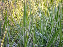 Green and white decorative grass Royalty Free Stock Images